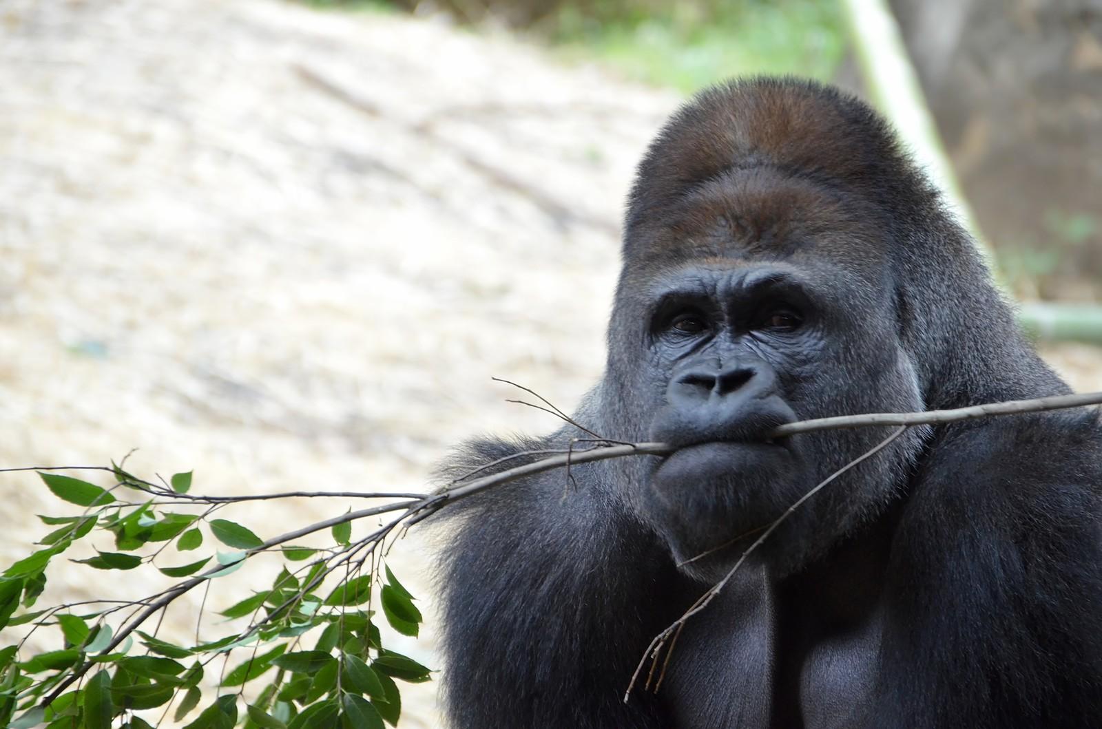 ゴリラの仲間 | 株式会社 Mountain Gorilla